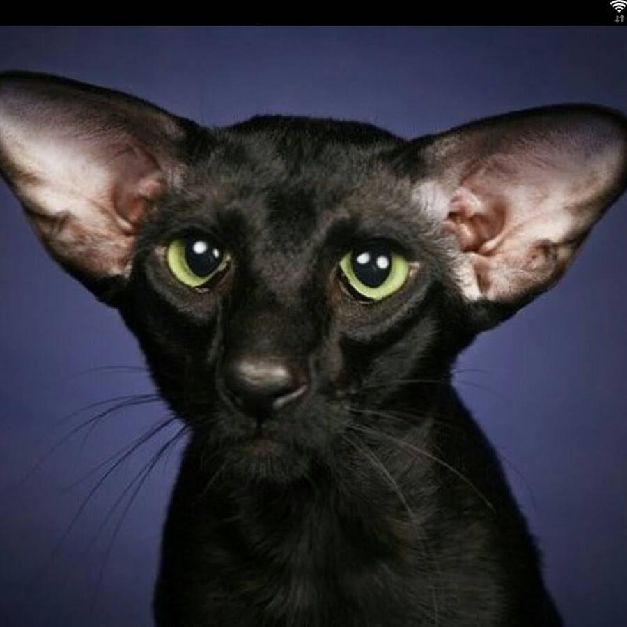 Ориентальная кошка: цена, характер, 33 фото - kisa.su
