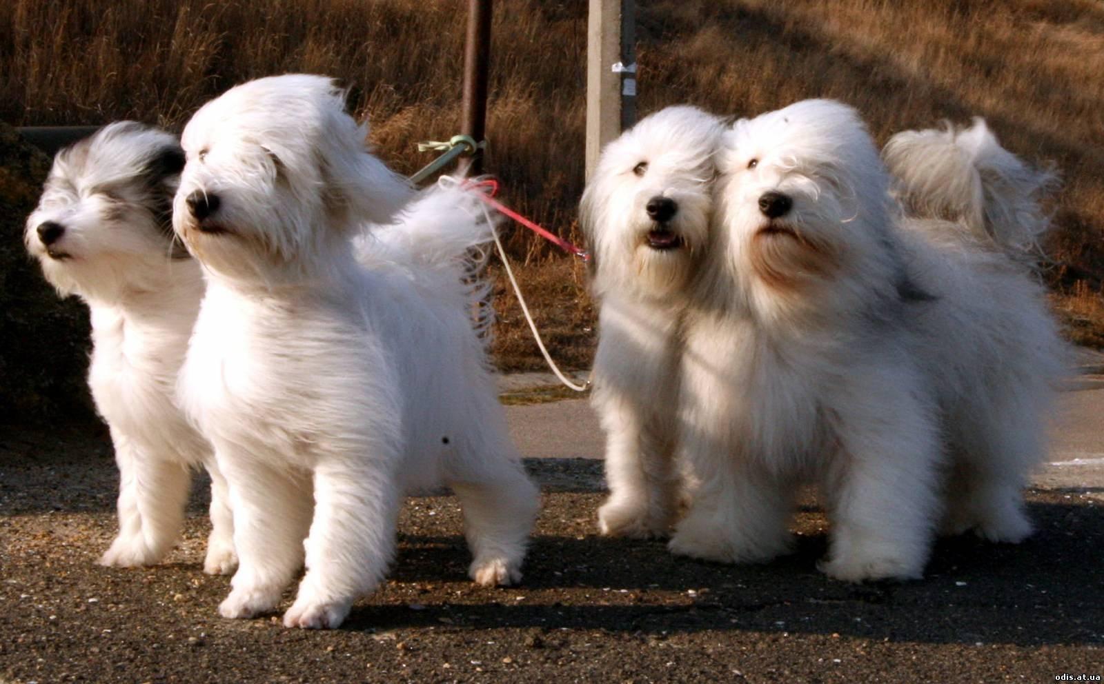 Одис (одесская домашняя идеальная собака) описание породы с фото, видео