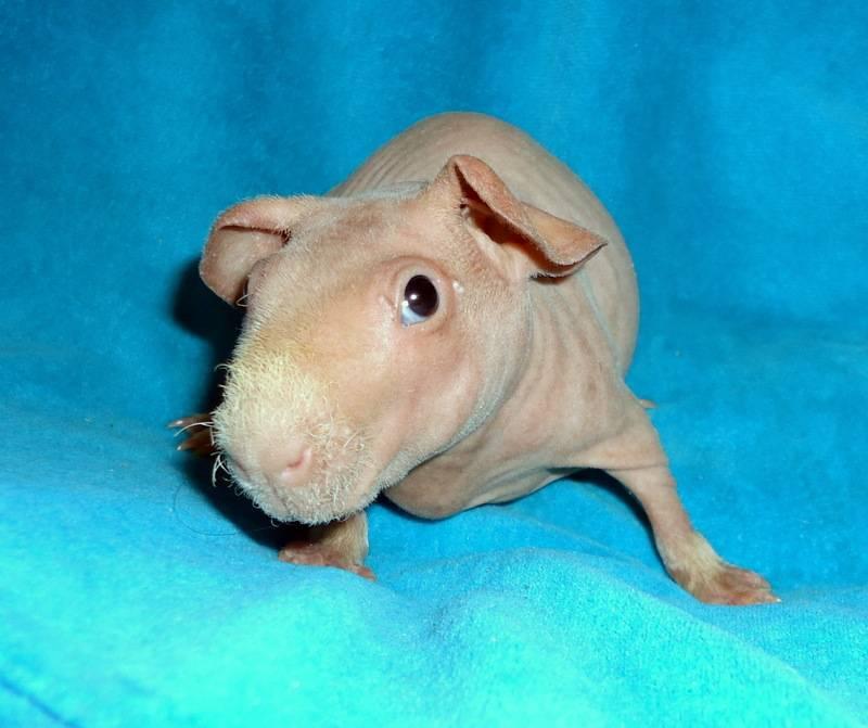 Морская свинка скинни фото: куплю морскую свинку скинни недорого, отдам, недорого продам морскую свинку скинни бесплатно (фото), здесь можно купить, продать или отдать морскую свинку скинни, питомник.
