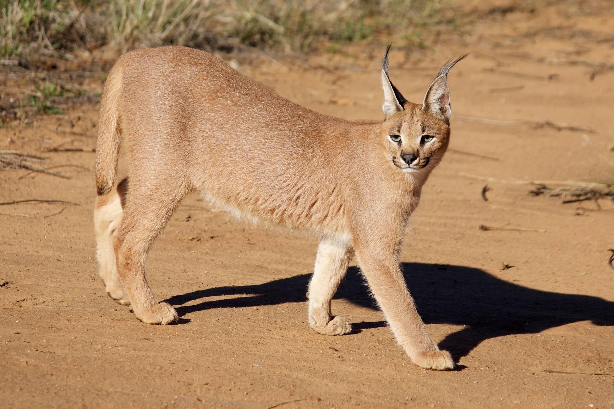Степной кот: 63 фото дикой кошки felis libyca, описание, виды