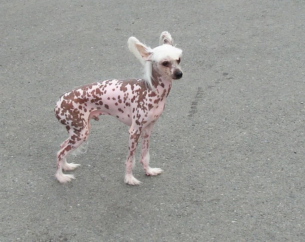 15 самых редких пород собак в мире: описание и стоимость щенков