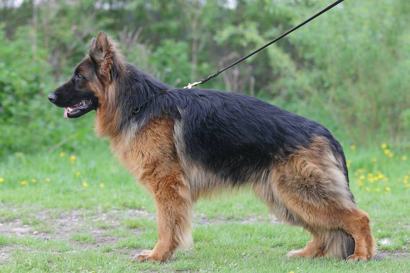 Немецкая овчарка – легендарная собака: лучший друг, охранник и защитник