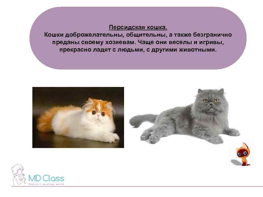 Чем кормить персидских кошек и как обеспечить должный уход