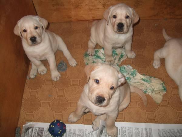 Клички для лабрадора: красивые и оригинальные имена, которыми можно назвать собак