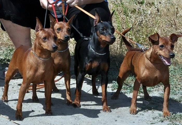 Пинчеры (61 фото): особенности группы собак, описание щенков австралийского, японского и королевского вида. как выглядит стандартный пинчер?
