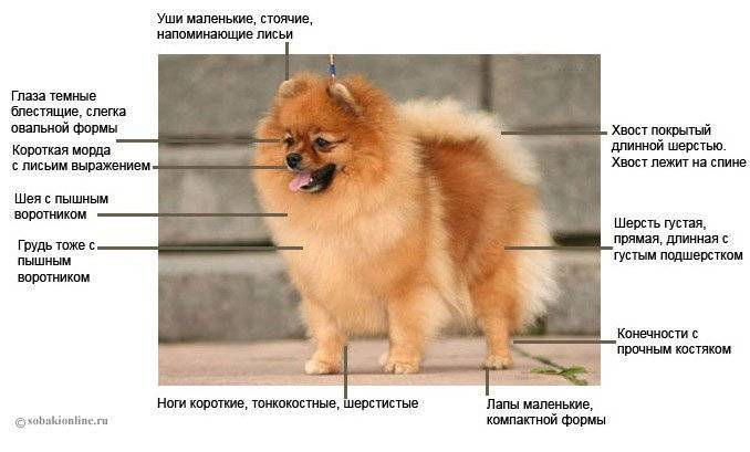 Померанский шпиц собака. описание, особенности, уход и цена померанского шпица | sobakagav.ru