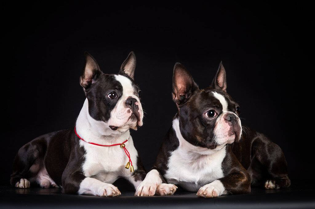 Бостон терьер собака. описание, особенности, уход и цена бостон терьера | животный мир