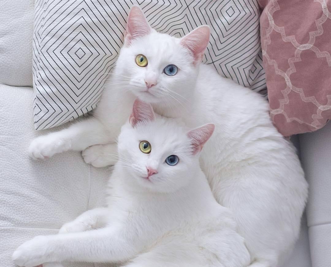 """Самые дорогие породы кошек     блог ветклиники """"беланта"""""""