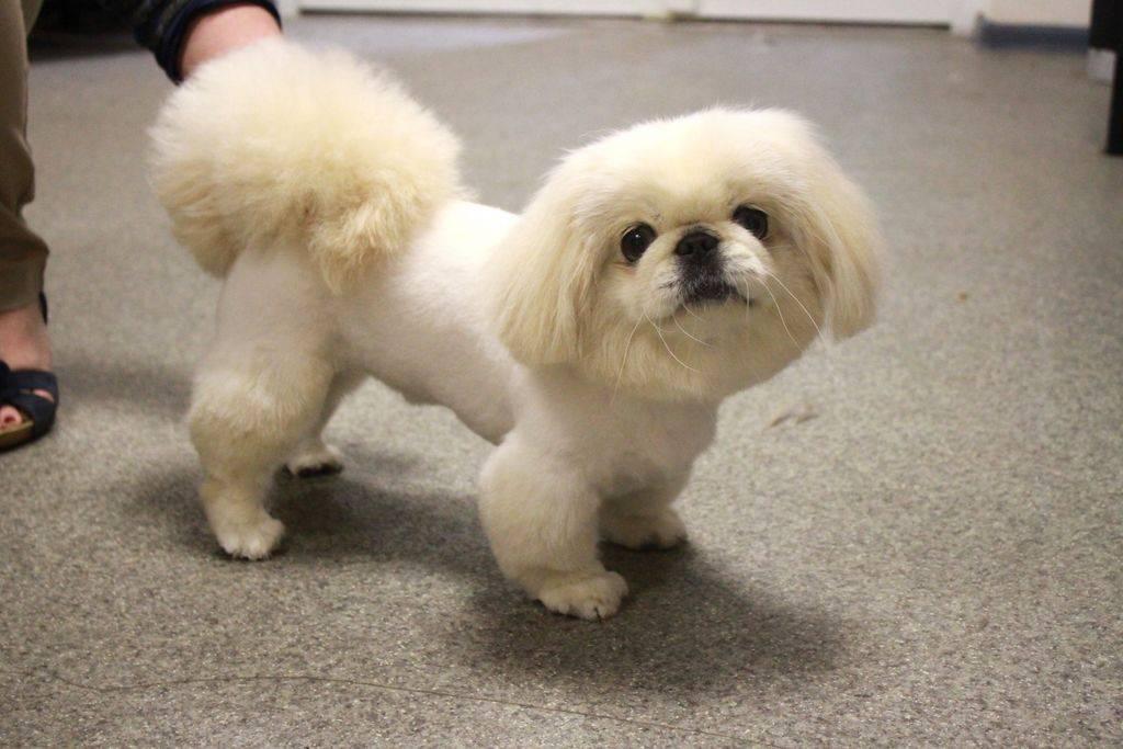 Пекинес (собака): характеристика карликовой породы