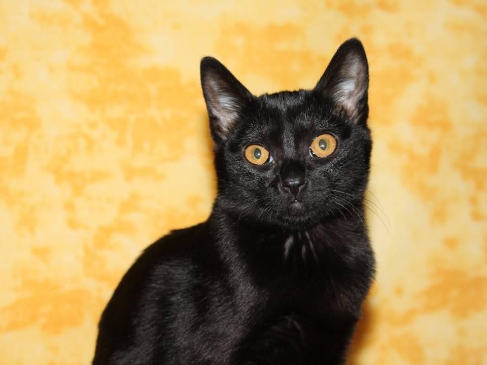Бомбейская кошка: фото, здоровье, характер и уход за породой