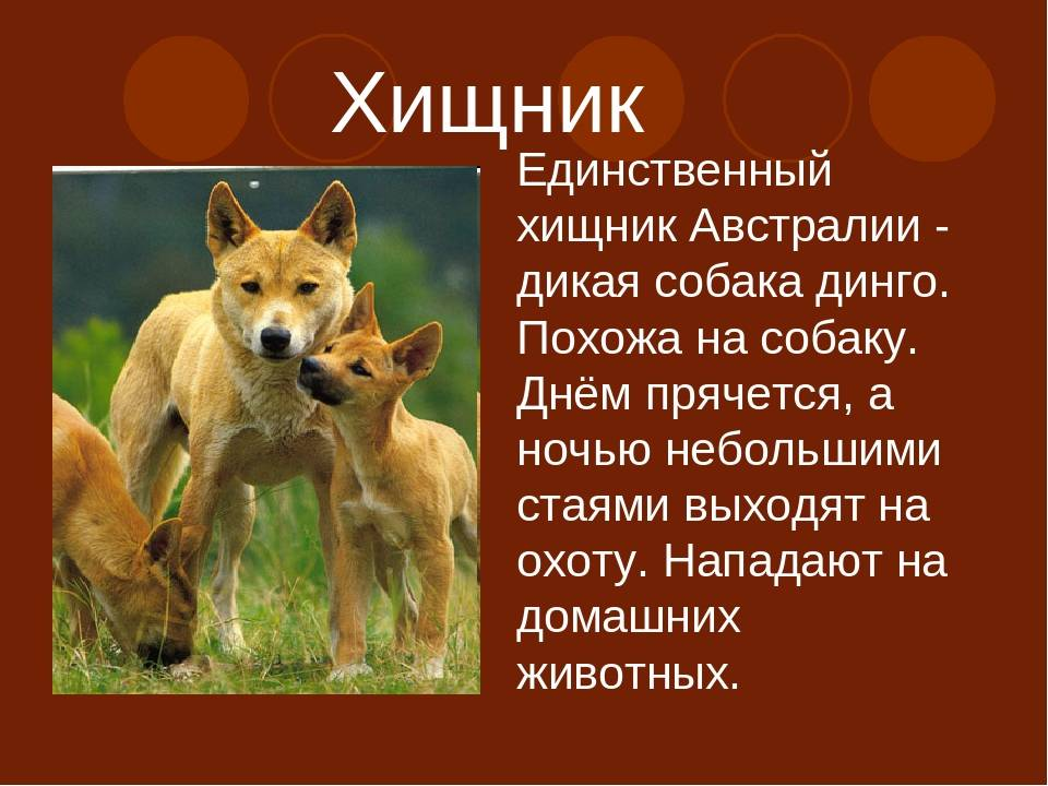 Динго. о породе собак: описание породы динго, цены, фото, уход