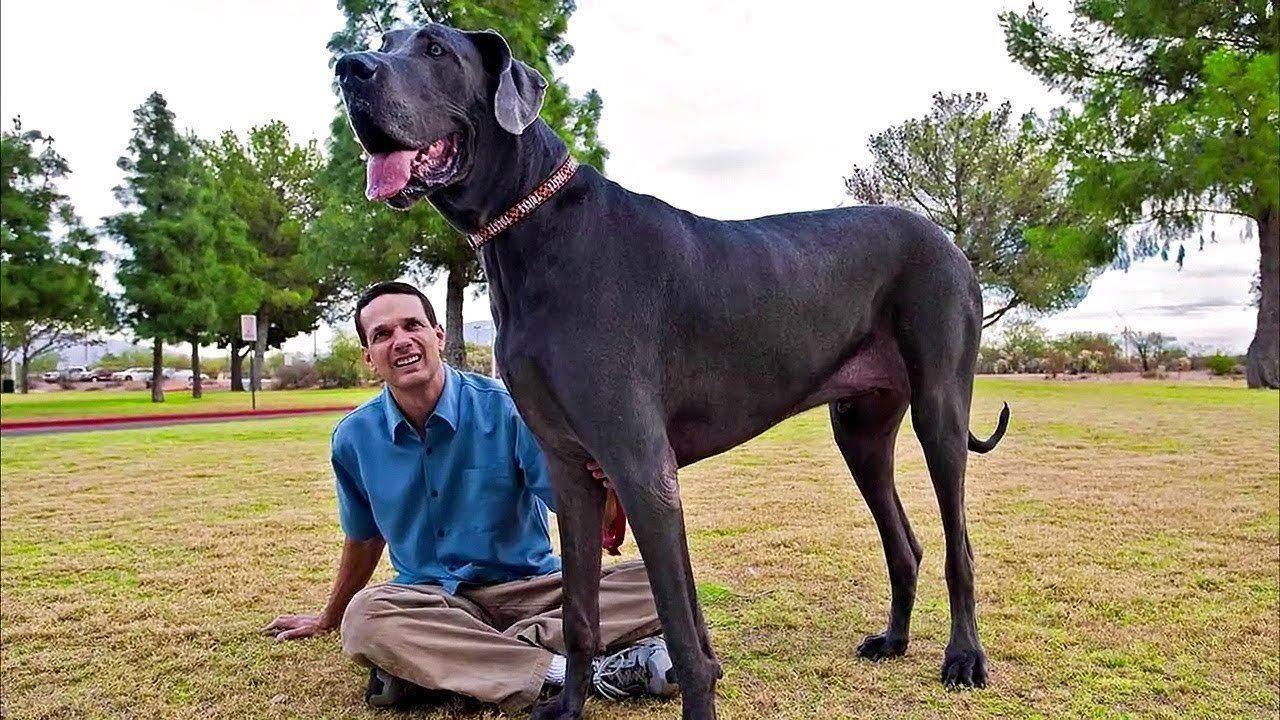 Топ 10 самых больших пород собак в мире