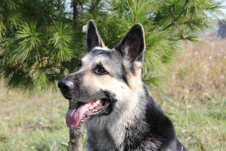 Собака восточно-европейская овчарка (фото): выносливый защитник и верный друг - kot-pes