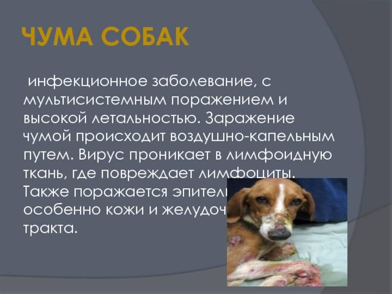 Чума собак - формы, симптомы, лечение