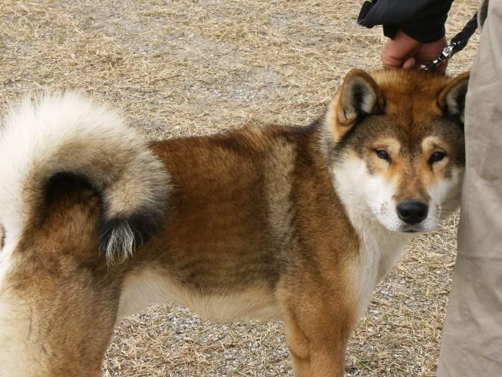 Сикоку (23 фото): особенности породы собак, содержание коти-ину и уход за ними