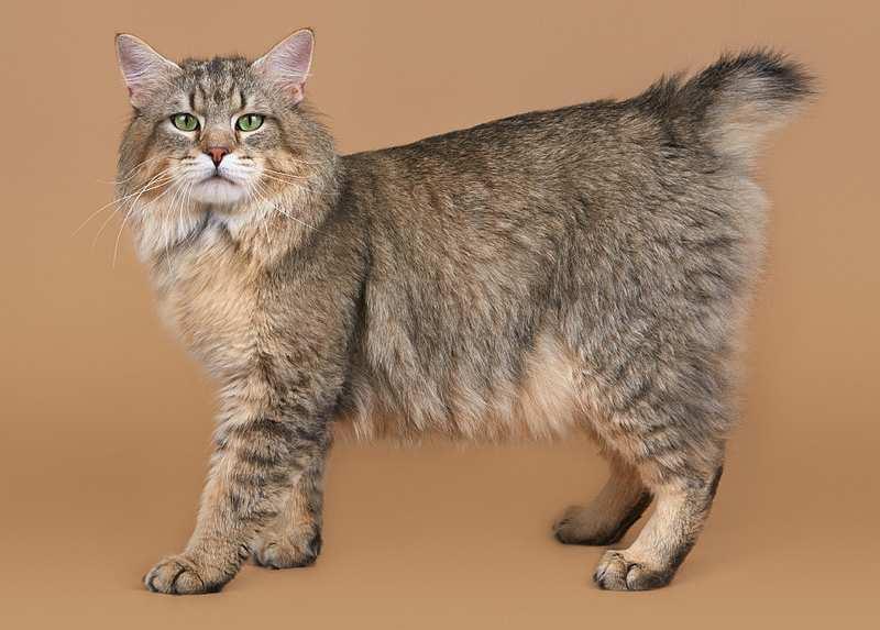 Пиксибоб (43 фото): описание породы кошек. особенности питания котят. вес взрослого кота