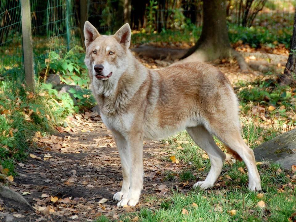Гибрид волка и собаки (волкособ): как называются породы, описание, характер, содержание и воспитание