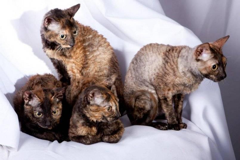 Донской сфинкс: описание внешности и характера породы, уход за питомцем и его содержание, выбор котёнка, отзывы владельцев, фото кота
