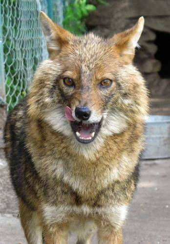 Шалайка (27 фото): описание новой породы собак в россии. характер собаки сулимова. содержание квартерона