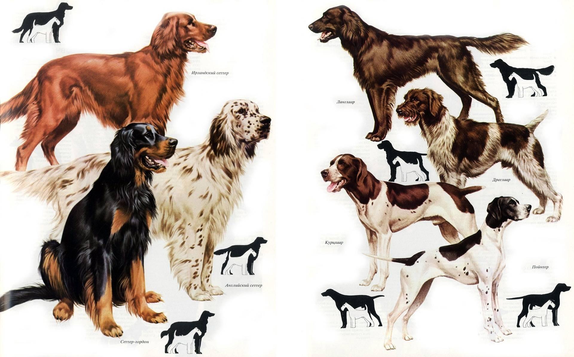 Охотничьи породы собак – название, фотографии