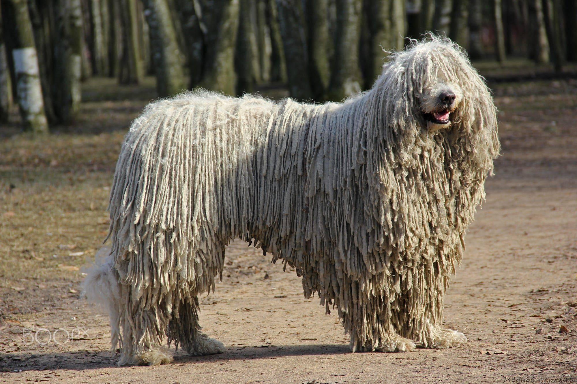 Комондор (венгерская овчарка) – энциклопедия о собаках