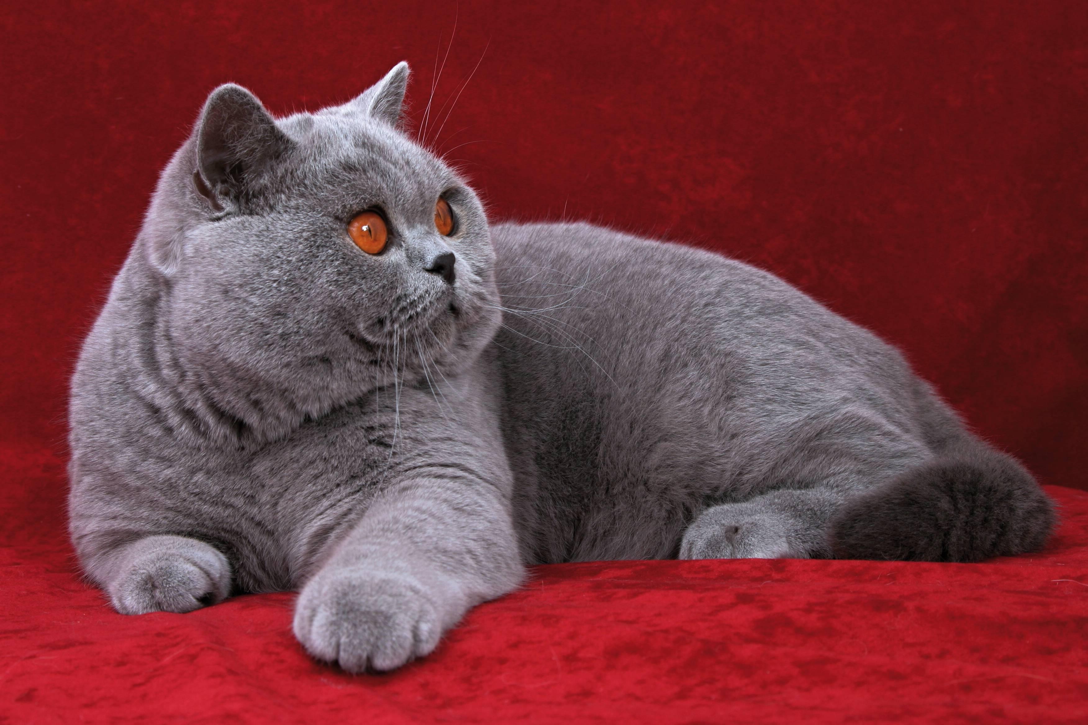 Британская короткошерстная кошка: здоровье, уход и особенности породы