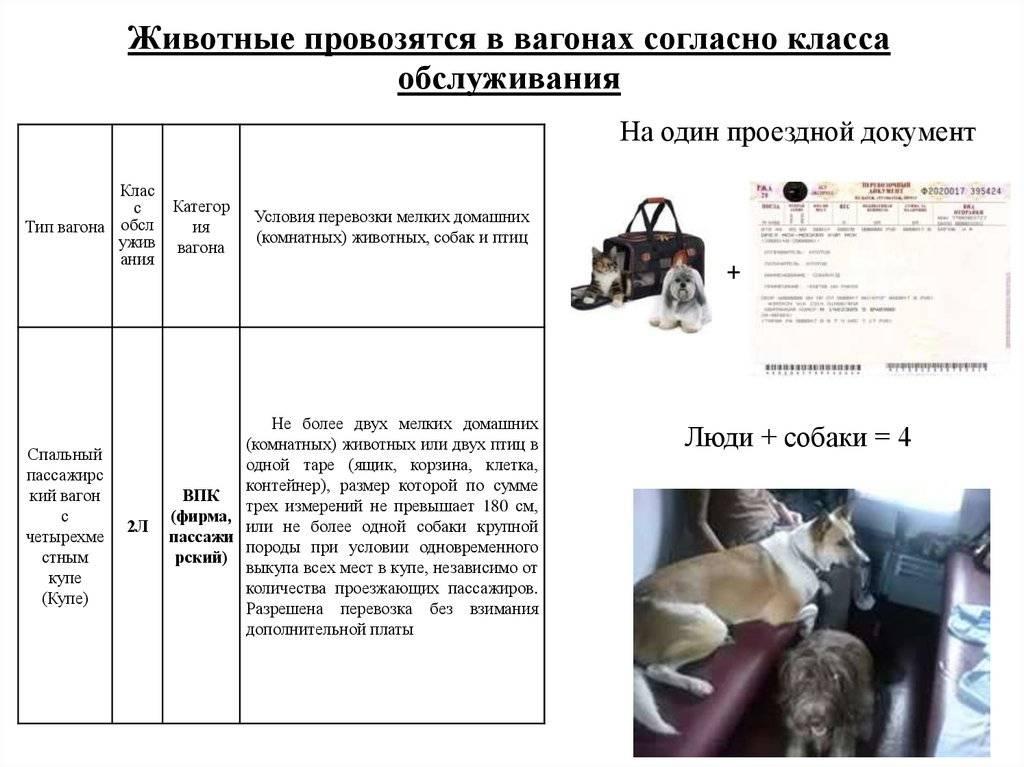 Правила перевозки кошки или кота в поезде по железной дороге