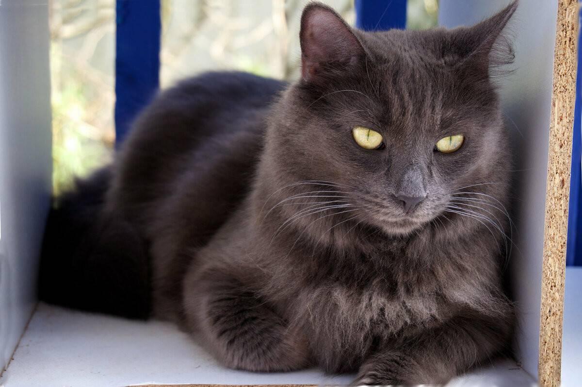 Нибелунг: кошки и коты