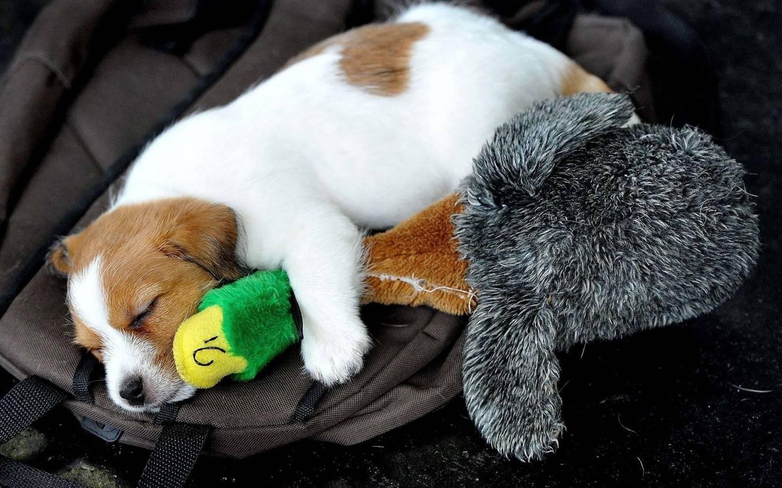 Как приучить щенка спать ночью - oozoo.ru