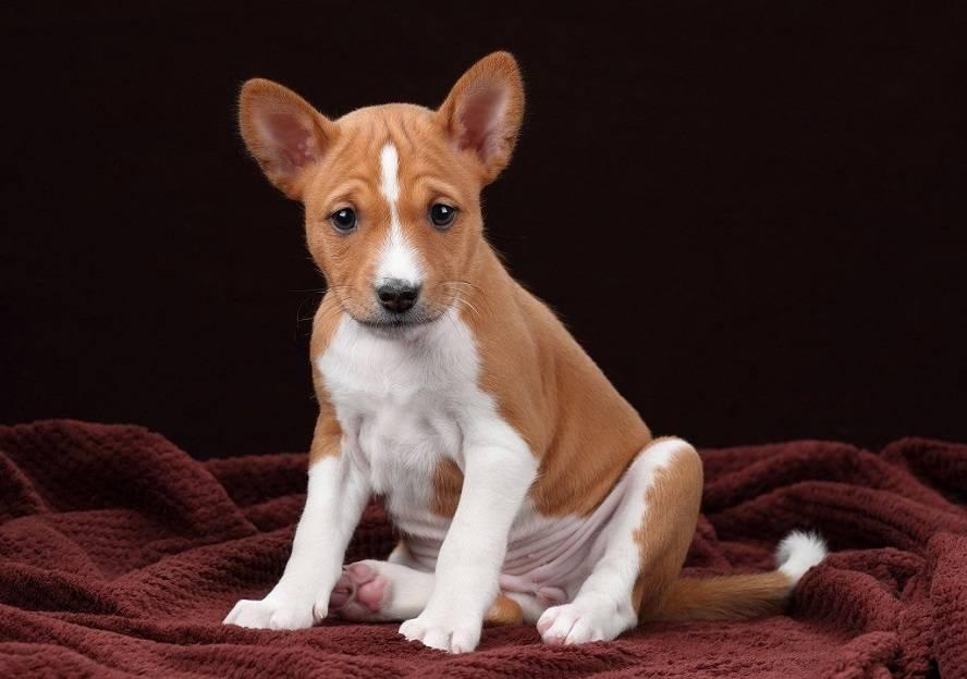 Породы собак, которые практически не лают