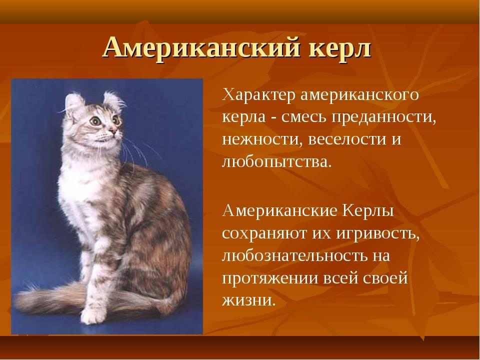Американский керл: фото и описание породы кошек, характер, особенности содержания и ухода