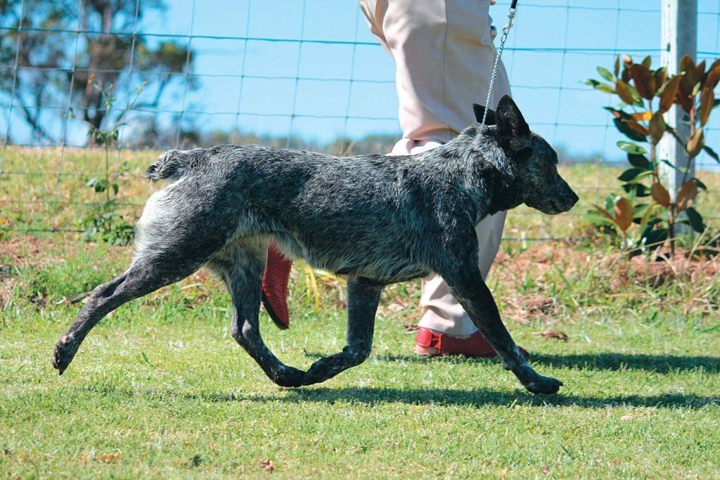 Австралийские пастушьи собаки (30 фото): описание породы хилер, особенности ухода за щенками кеттл дога