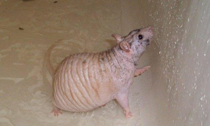 ᐉ лысая крыса (сфинкс): описание и характер животного, плюсы и минусы, уход и содержание - kcc-zoo.ru