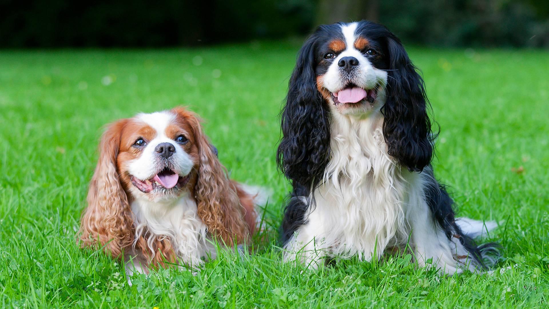 Кавалер-кинг-чарльз-спаниель: описание породы, характер собаки и щенка, фото, цена