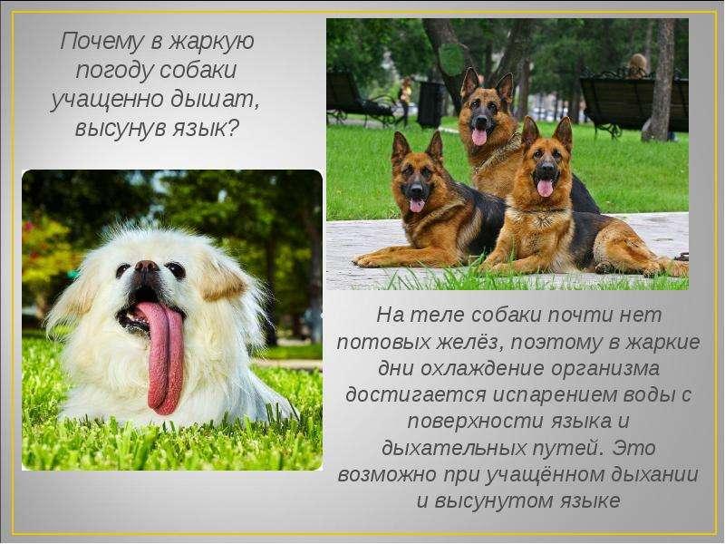 Почему собака тяжело и часто дышит высунув язык - purina dog chow