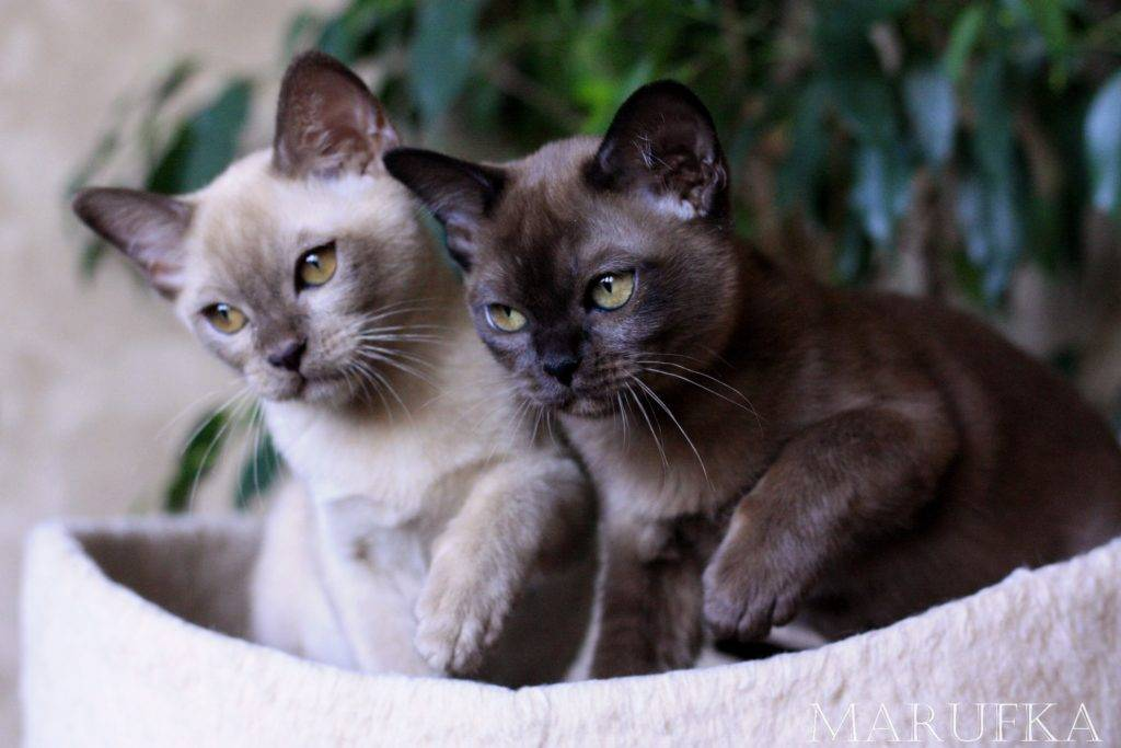 Бурмилла кошка: стандарт породы, описание, характер, содержание