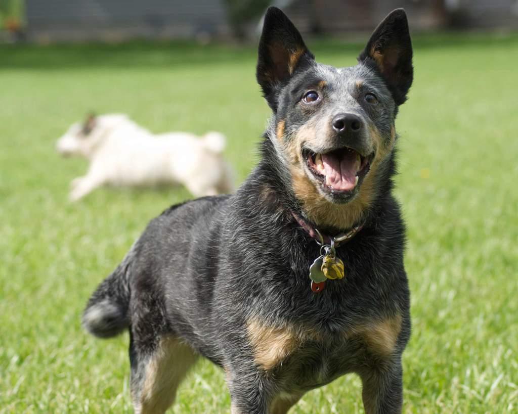 Австралийский хилер собака