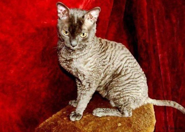 Уральский рекс-20 фото, описание характера породы, котята