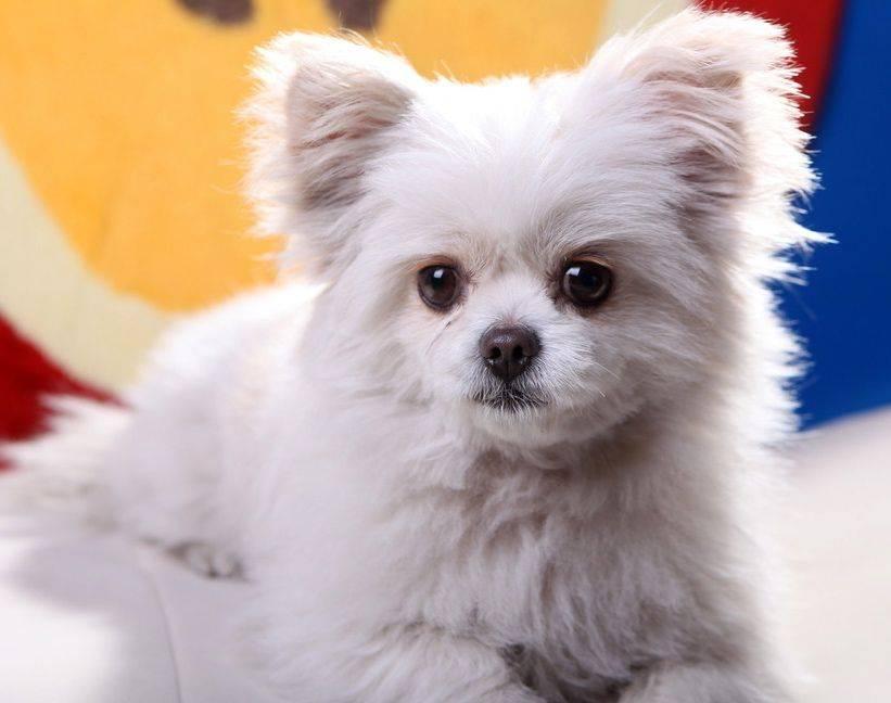 Декоративные собаки: породы с фотографиями и названиями