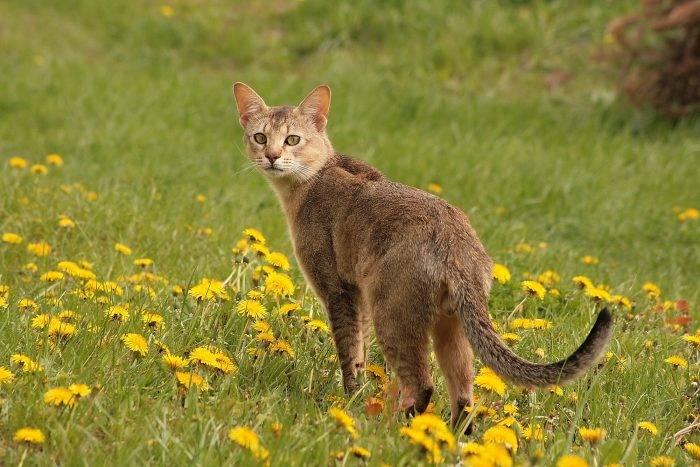 Кошка чаузи - всё о породе, уход и прочие важные моменты + фото