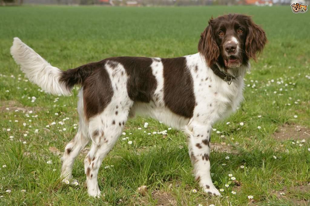 Белая швейцарская овчарка: все о собаке, фото, описание породы, характер, цена