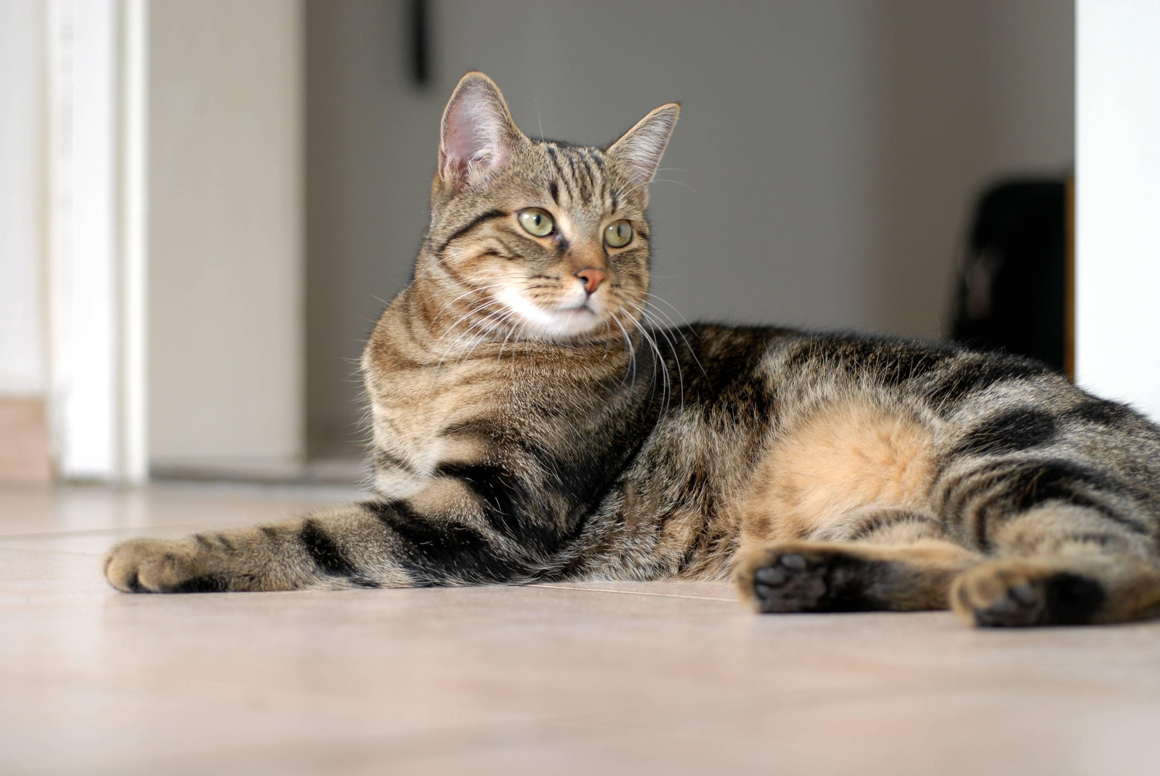 Европейские кошки (55 фото): почему эта порода котов называется короткошерстной или кельтской? описание характера гладкошерстных животных и распространенные окрасы