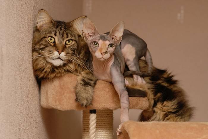 Метис мейн-куна — описание, плюсы и минусы покупки котенка полукровки