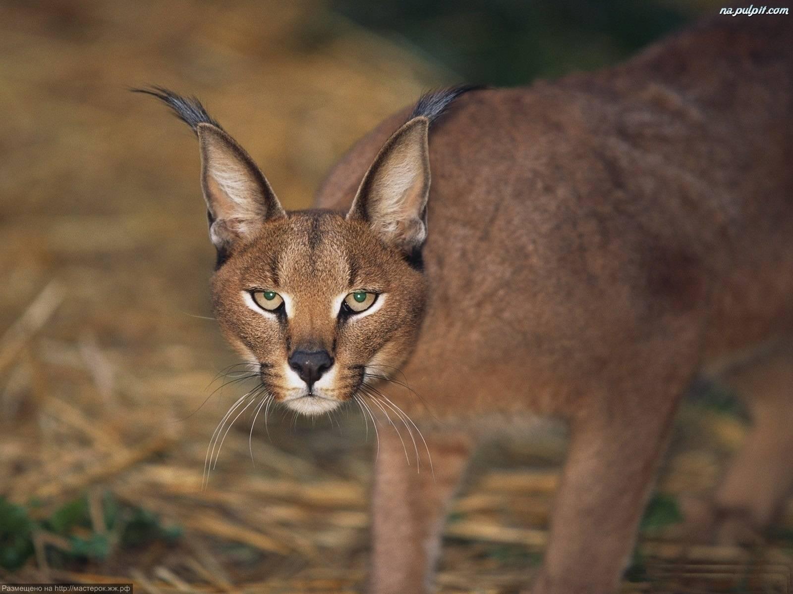 Камышовый кот: история происхождения, описание породы и фото болотной кошки, образ жизни и ареал обитания