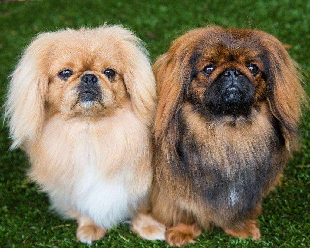 Пекинес: характеристика породы (описание, рост, размеры и вес, плюсы и минусы собаки)