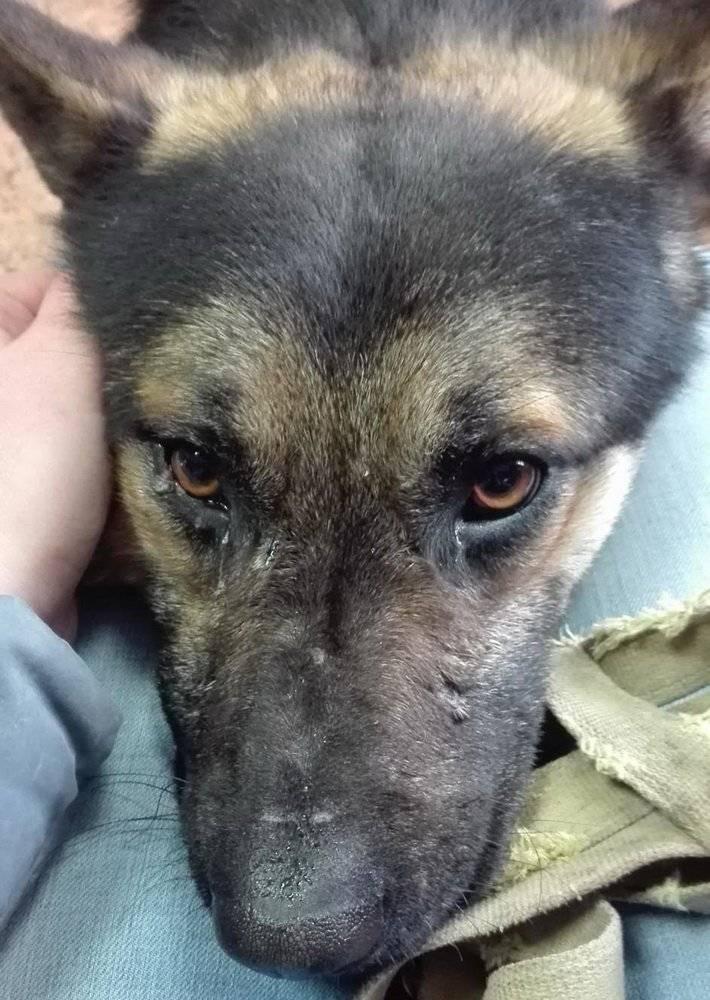 Чумка у собак: симптомы, проявления и медицинская помощь - интересное про собак