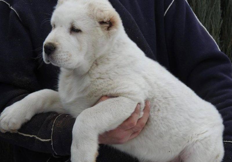 Азиатские имена для девочек — клички для собак кавказцев мальчиков