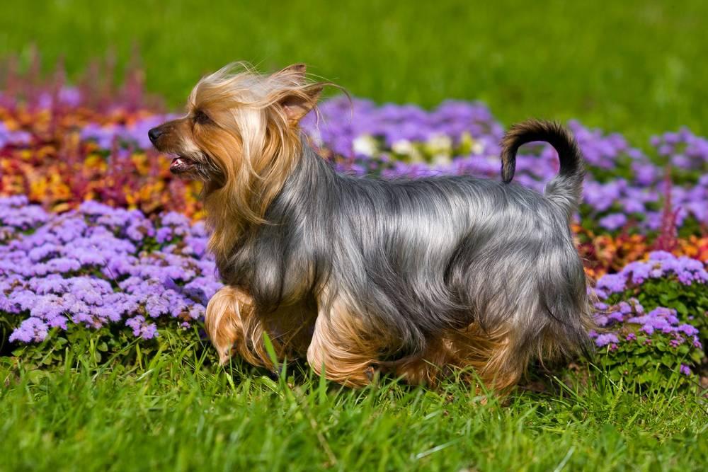 Австралийский терьер (силки терьер): описание породы, цена, фото | все о собаках