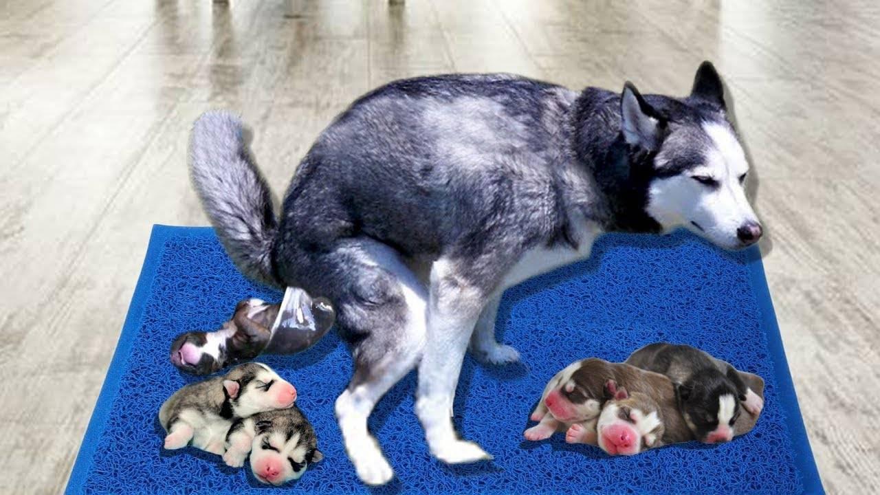 Период беременности и рождение щенков у хаски: как происходит процесс
