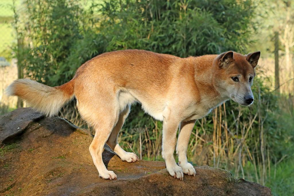 Кисю ((японская лайка): описание породы собак с фото и видео